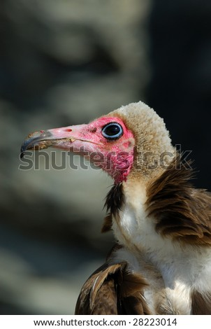 Close-up of a Hooded Vulture, Necrosyrtes monachus - stock photo