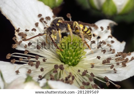 Close-up of a hornet or wasp feeding on a white flower - stock photo