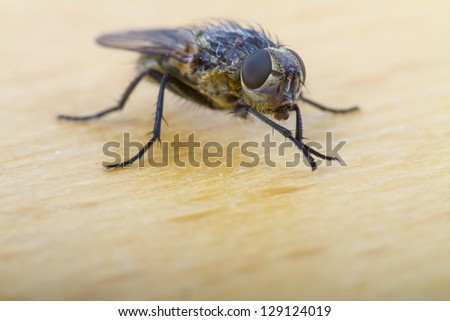 Close up of a House Fly, shallow depth of focus on compound eye - stock photo