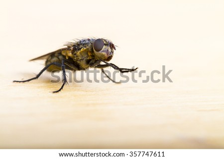 Close up of a House Fly taken head on on a plain background - stock photo
