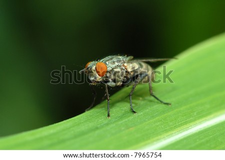 Close-up of a housefly on a blade of grass. - stock photo