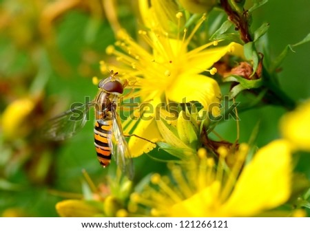Close-up of a hoverfly on a yellow blossom - stock photo