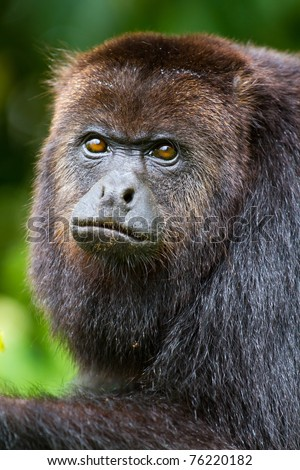 close up of a howler monkey in the jungle of Belize. - stock photo