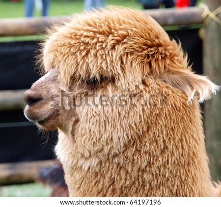 Close up of a Huacaya Alpaca - stock photo