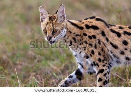 Close up of a hunting Serval Cat in Masai Mara, Kenya - stock photo