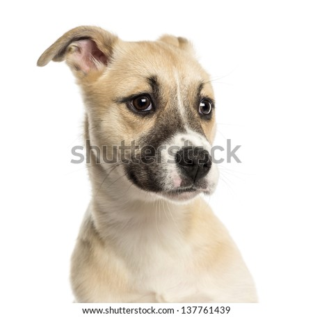 Close-up of a Husky Boxer Mixed-breed puppy, 3 months old, isolated on white - stock photo