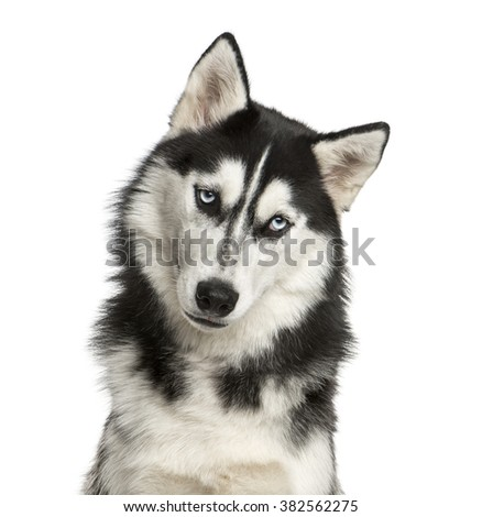 Close-up of a Husky in front of a white background - stock photo