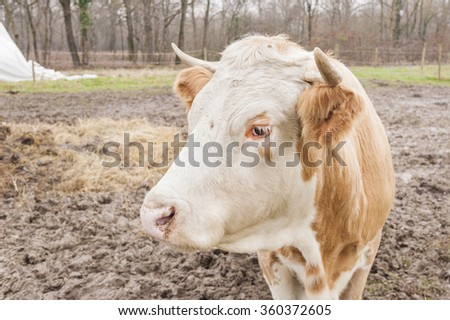 Close up of a Italian dairy cow