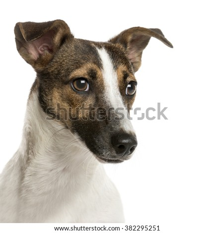 Close-up of a Jack russell in front of a white background