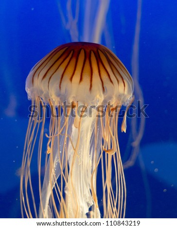 close up of a jelly fish swimming - stock photo
