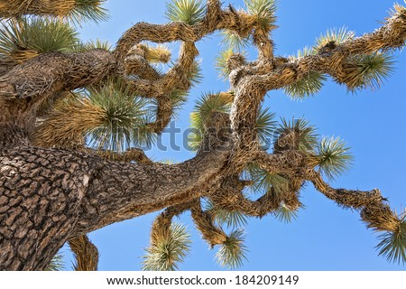 close up of a joshua tree branches against a blue sky - stock photo