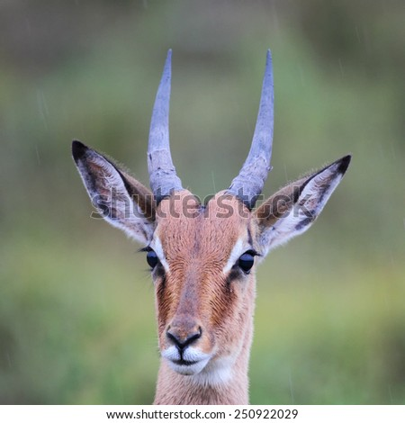 Close up of a juvenile male Impala (Aepyceros melampus) in the Amakhala Game Reserve, Eastern Cape, South Africa. - stock photo