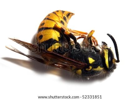 Close-up of a killed Yellow Jacket Wasp on white background. Macro shot with shallow dof. - stock photo