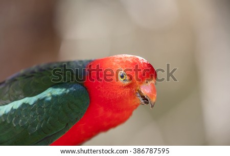 Close up of a King Parrot - stock photo