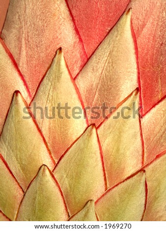 Close up of a king protea petals - can be used as background - stock photo