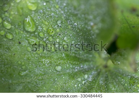 Close-up of a Lady's Mantle Leaf with water drops - stock photo