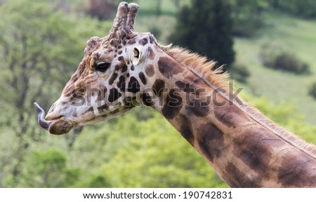 close up of a large adult male giraffe in a wildlife safari
