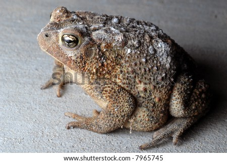 Close-up of a large American Toad.