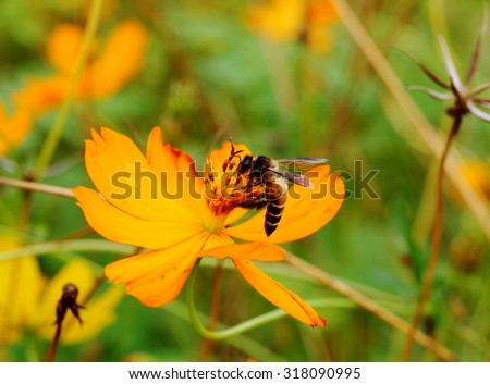 close-up of a large bee on a soft small cute beauty yellow orange color grass flower in nature looks like Climbing Wedelia, Singapore daisy blooming in green field meadow on a sunny day.  - stock photo