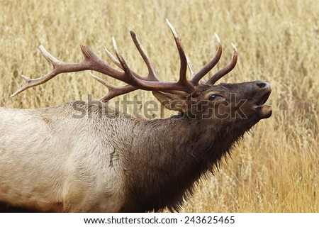 Close up of a Large Bull Elk Stag bugling / calling Rocky Mountain Elk, Cervus canadensis  Big game & deer hunting in Montana, Colorado, Wyoming, Oregon, Idaho, Utah, & Washington - stock photo