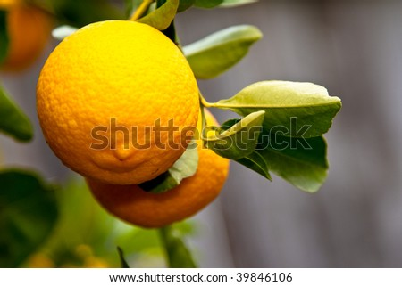 Close-up of a large citrus fruit hanging on a branch background deeply out of focus - stock photo