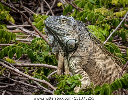 Close up of a large green Iguana climbing a bush - stock photo