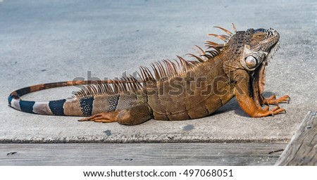 Iguana Stock Photos Royalty Free Images Amp Vectors