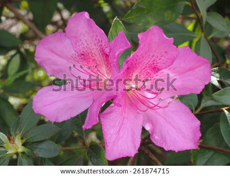 Close Up of a Large Pink Azalea - stock photo