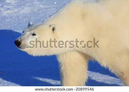 Close up of a large, wild male polar bear near Churchill, Manitoba, Canada, in search of food - stock photo