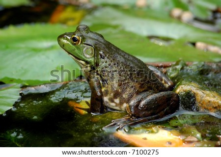 close up of a lazy frog in a pond - stock photo