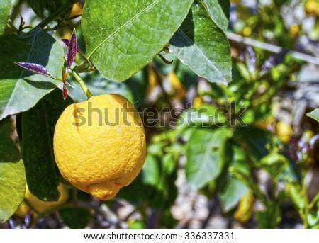close up of a lemon on the tree