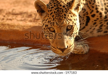 Close-up of a leopard drinking water, Namibia, Africa - stock photo