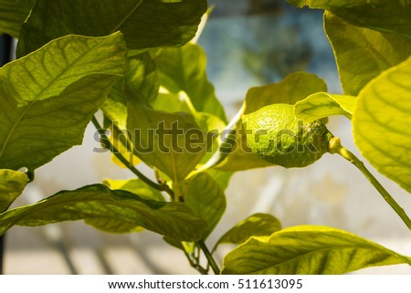 close-up of a lime shrub with leaves in france