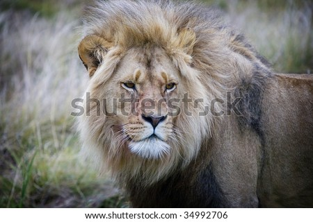 Close up of a lion in South Africa.
