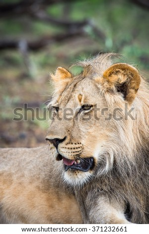 Close up of a lion in Zimbabwe, Africa - stock photo