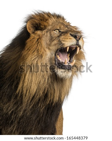 Close-up of a Lion roaring, Panthera Leo, 10 years old, isolated on white - stock photo