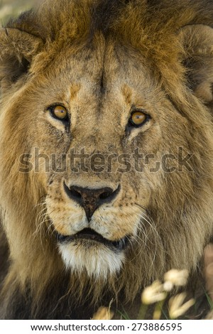 Close-up of a Lion, Serengeti, Tanzania, Africa - stock photo