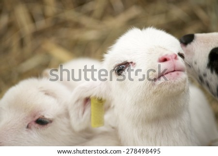 Close-up of a little lamb. - stock photo