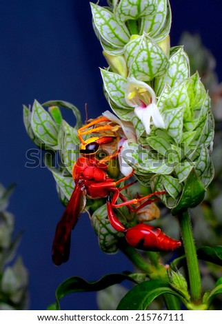 Close-up of a live Hornet on nature background. Macro shot - stock photo