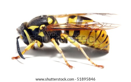 Close-up of a live Yellow Jacket Wasp on white background - stock photo