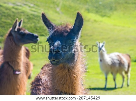 Close up of a llama with two llamas in the background - stock photo