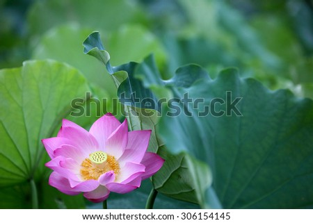 Close-up of a lovely pink lotus flower blooming among lush leaves in a lotus pond - stock photo