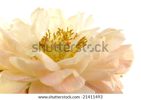 close-up of a lovely yellow flower against white background - stock photo