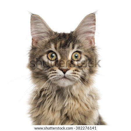 Close up of a Maine Coon kitten looking at the camera, isolated on white (5 months old) - stock photo