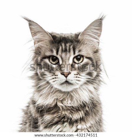Close-up of a Maine Coon looking at the camera, isolated on white - stock photo