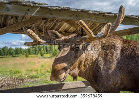 Close up of a majestic moose bull - stock photo