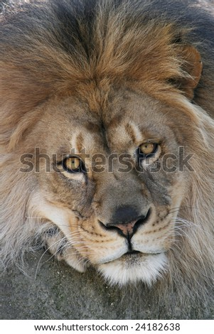 Close up of a male african lion