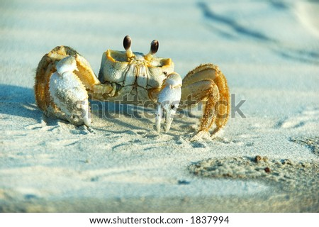 Close up of a male Ghost Crab-Ocypode ceratophthalma. Lives in burrows along sandy beaches of the Eastern U.S.A One can sometimes hear bubbling sound of ghost crabs while tanning at the beach. - stock photo
