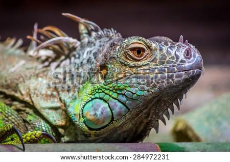 Close-up of a male Green Iguana (Iguana iguana). Green Iguana Reptile Portrait Closeup - stock photo
