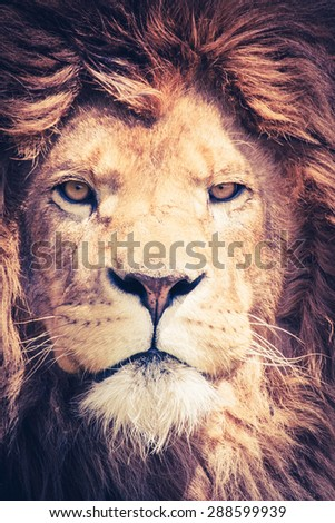 Close up of a male lion with manes and a dangerous and powerful face - animal portrait